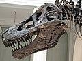 Tyrannosaurus rex (theropod dinosaur) (Hell Creek Formation, Upper Cretaceous; near Faith, South Dakota, USA) 34.jpg