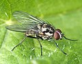 Unidentified Fly (26853038282).jpg
