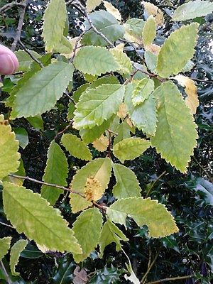 Ulmus crassifolia - Image: Unknown Ulmus. Calton Hill Park, Edinburgh (3)