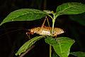 Unknown katydid (14339113570).jpg