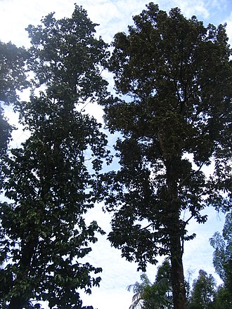 Upuna - Image: Upuna borneensis