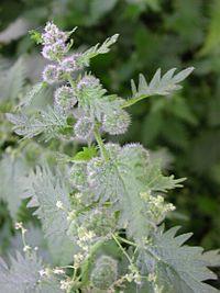 Urtica pilulifera Sardinia