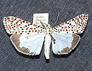 Harlekinbär (Utetheisa pulchella)