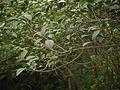 Valiya Vizhaalari (Malayalam- വലിയ വിഴാലരി) (8070994742).jpg
