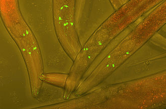 Fusion protein - Green Fluorescent Protein (GFP) inserted into the neurons of Varbuss worms to track neuronal development.