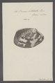 Venus litterata - - Print - Iconographia Zoologica - Special Collections University of Amsterdam - UBAINV0274 077 12 0038.tif