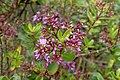 Veronica diosmifolia kz6.jpg