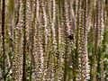 Veronica spicata-IMG 8531.jpg