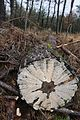 Very decorative but for me unknown resupinate mushroom at a Pine tree - panoramio.jpg