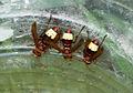 Vespa orientalis - Oriental hornet 02.jpg