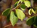 Viburnum (31143300285).jpg