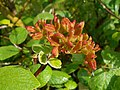 Viburnum cotinifolium 2017-05-31 1542.jpg