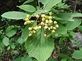 Viburnum lantana añisclo.JPG