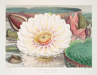 Victoria amazonica - Illustration by Fitch, 1851