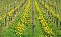 Vineyard - Sasbach 01.jpg