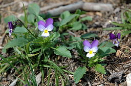 Viola tricolor whole