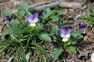 Viola tricolor whole.jpg