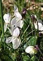 Violets, Parke - geograph.org.uk - 1208655.jpg