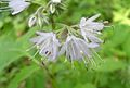 Virginia Waterleaf, Shawnee Salad (Hydrophyllum virginianum) - Flickr - Jay Sturner.jpg
