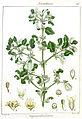 Viscum orbiculatum Rungiah.jpg