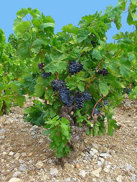 Vitis vinifera, Common Grape Vine, habitus. Les Cabanes de La Palme (Aude, France).
