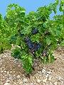 Vitis vinifera 001.jpg