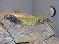 Wally, Male Mali uromastyx (Uromastyx maliensis).jpg