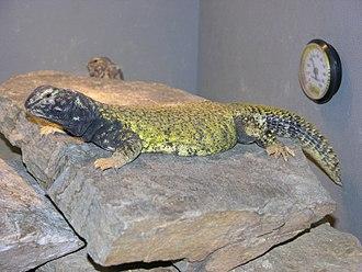 Uromastyx - Mali mastigure (Uromastyx (dispar) maliensis)