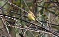 Warbling Doradito (Pseudocolopteryx flaviventris).jpg
