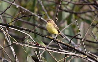 Warbling doradito species of bird