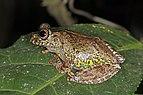Warty bright-eyed frog (Boophis guibei) Andasibe.jpg