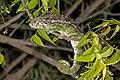 Warty chameleon (Furcifer verrucosus) male Arboretum d'Antsokay.jpg
