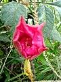 Wayanadan-random-flowers IMG 20180524 154043 HDR (41654551064).jpg