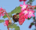 Weidehommel koningin op Ribes sanguineum ((Bombus pratorum).jpg