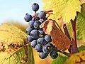 Weintraube für Beaujolaiswein EO5P0267-2.jpg