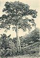 Westafrikanische Nutzpflanzen (Busse) - Tafel 27 - Kapokbaum.jpg