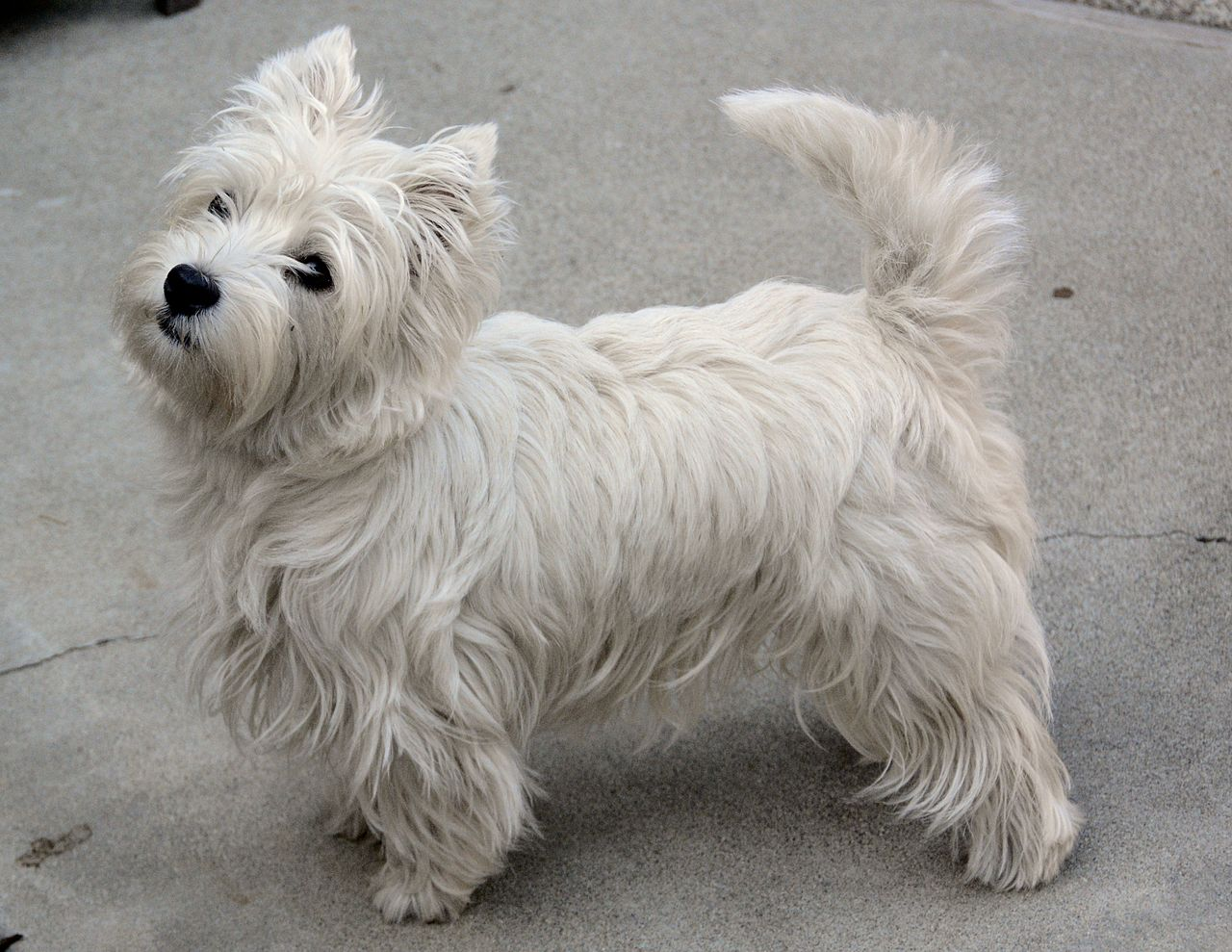 Westies Dog For Sale Wales