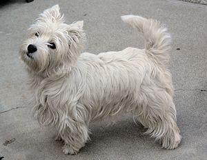 West Highland White Terrier -  Westies have dense, thick undercoat and a rough outer coat