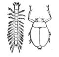 Whirligigbeetle.PNG