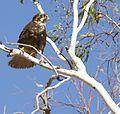 Whistling kite (7898946884).jpg