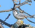 White-breasted Nuthatch (39522136174).jpg