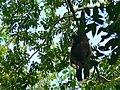 White-handed Gibbon (Hylobates lar) male (7732841908).jpg