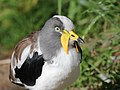White-headed Lapwing RWD4.jpg