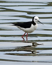 White-headed Stilt.jpg