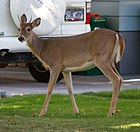 White-tailed Deer (8047858676).jpg