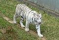 White tiger - Jardim Zoológico de Brasília - DSC09997.JPG