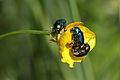 Wien-Hietzing - Naturschutzgebiet 1 - Lainzer Tiergarten - Dianawiese - unidentifizierte Käfer I.jpg