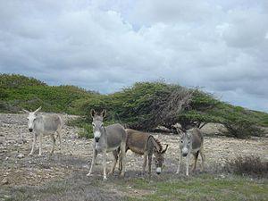 Wild Donkeys Bonaire (339370349)