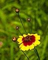 Wild Flower (19680909973).jpg