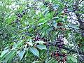 Wild cherries 5.JPG
